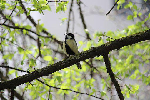 Tit, Bird, Cute, Animal, Nature, Songbird, Plumage