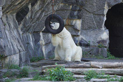 Polar Bear, Animal World, Predator, Predator Kind, Bear