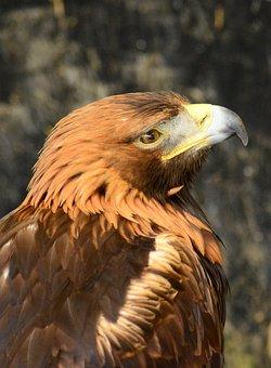 Golden, Eagle, Raptor, Predator, Wildlife, Prey, Hunter