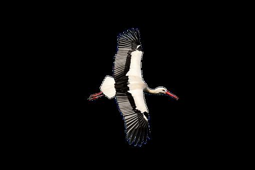 Stork, Transparent, Rattle Stork, Nature, Isolated