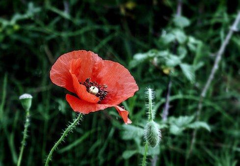 Poppy, Flower, Wild Flowers, Red, Spring, Field, Grass
