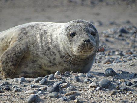 Robbe, Seal, Helgoland, Beach, Sand, Aquatic Animal