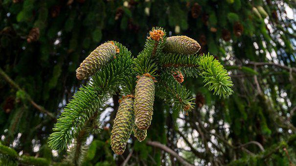 Fir, Pine Cones, Tap, Needles, Tree, Close, Scale