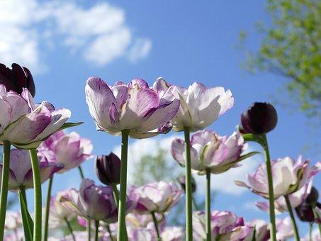 Tulips, Flowers, Sky, Sunny, Blue, Nature