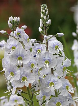 Veronica, Speedwell, Border Plant, Nature, In Flower