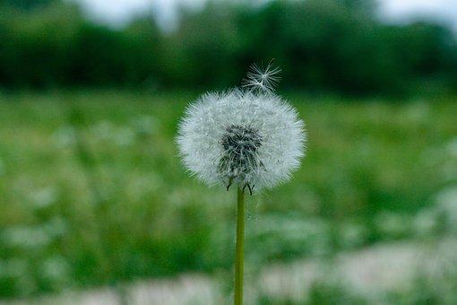 Dandelion, Blur, Flower, Spring, Nature, Summer, Green