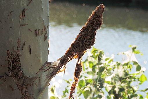 Spinning Moth Caterpillars, Tree Infestation