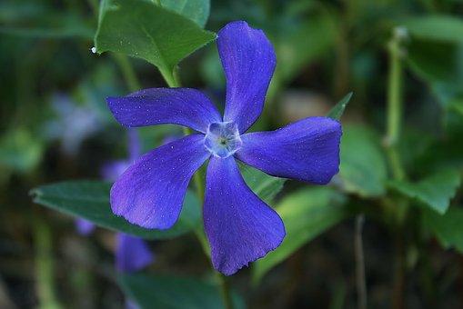 Evergreen, Vinca Major, Vinca, Ground Cover, Flower