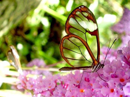 Butterfly, Transparent, Warm, Fauna, Nature, Beauty