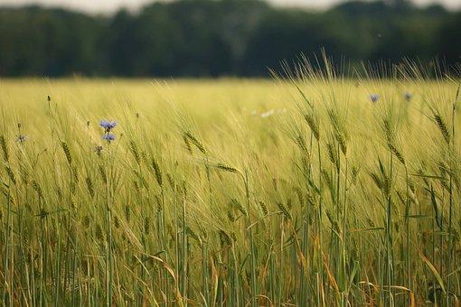Wheat Field, Spike, Cornfield, Bread, Wheat Spike