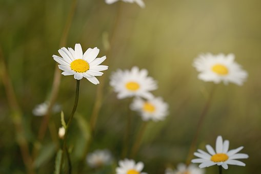 Flowers, Wildflowers, Marguerite, Meadow Daisies, White