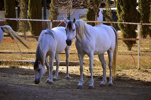 Horse, White Horse, Arabian Horses, Four Legged, Equine