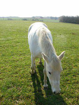 Horse, White Horse, Animal, Nature, Equestrian, Equine