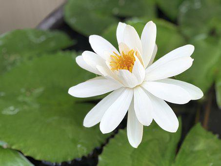 White, Lotus, Sunshine, 潔 Net