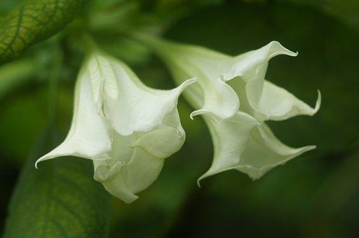 White, Flower, Two, White Blossom, Green