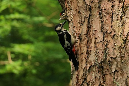 Woodpecker, Great Spotted Woodpecker, Feeding, Young