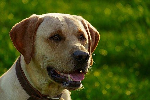 Dog, Mixed Breed Dog, Back Light, Labrador, Young Dog