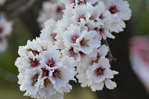 Almond Flowers, Almond Blossom, Flowery Branch