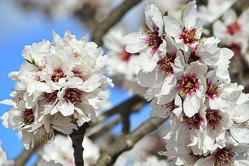 Almond Flowers, White Flowers, Almond Tree, Flowers