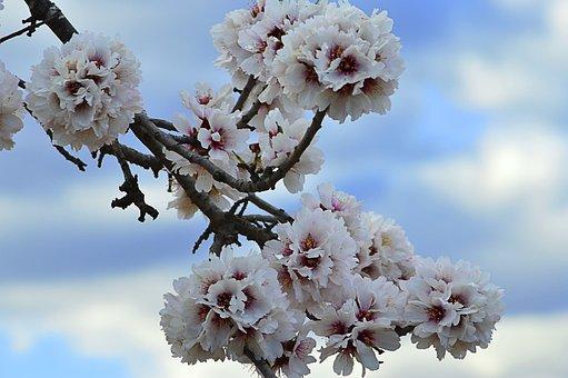 Almond Tree In Blossom, Flowery Branch, Flowering