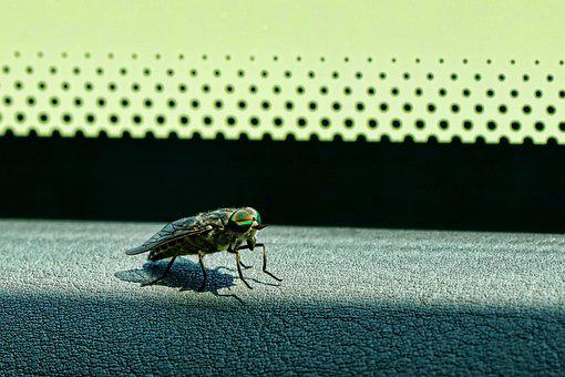 Animal, Insect, Close, Eyes, Common Gadfly