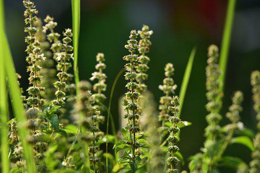 Basil, Seeds, Herb, Herbal, Reed, Plant, Edible, Flower