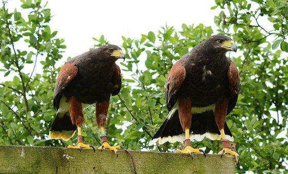 Harris, Hawk, Male, Female, Perch, Bird, Beak, Hunt