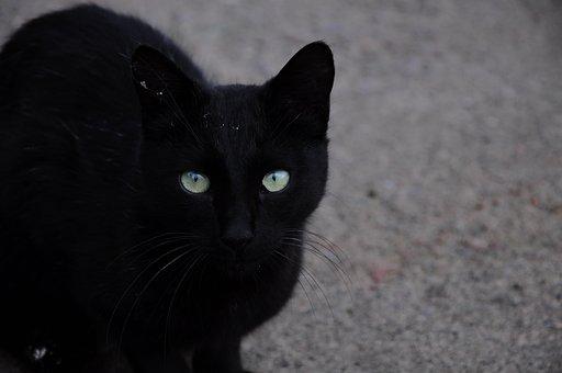 Cat, Cat Official, Cat Pictures, Black, Black Cat