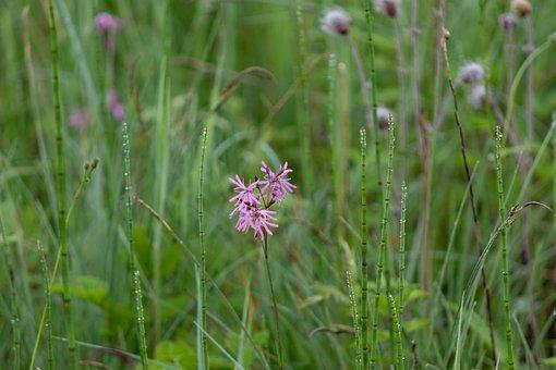 Cuckoo-light Elke, Blossom, Bloom, Reed, Moor