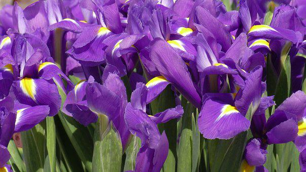 Iris, Irises, Flower, Floral, Bloom, Blossom, Petal