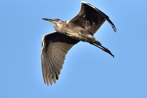 Heron, Blue Sky, Feathers
