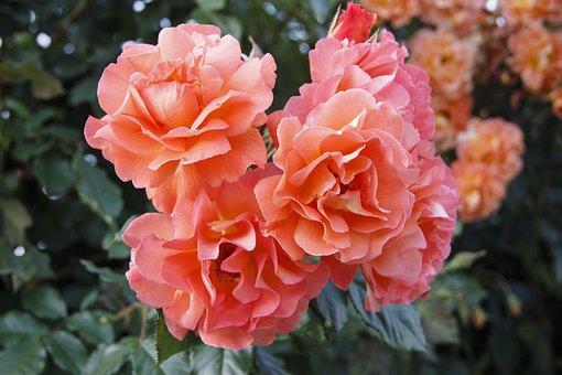 Bouquet, Roses, Tender Rose, Nature, Beautiful