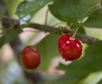 Cherries, Drops, Cherry, Fruit, Fresh Fruit, Seize
