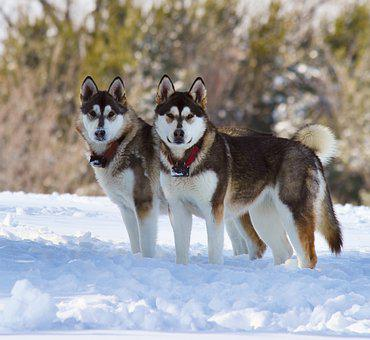 Dogs, Snow, Winter, Pet, Animal, White, Nature, Cold