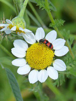 Trichodes Apiarius, Orange Beetle, Coleoptera, Grated