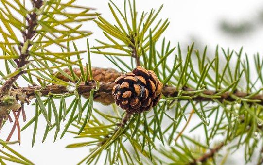 Conifer, Fir, Pine, Tree, Evergreen, Pinecone