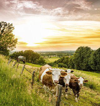 Cows, Pasture, Fence, Cattle, Animal, Graze, Mountains