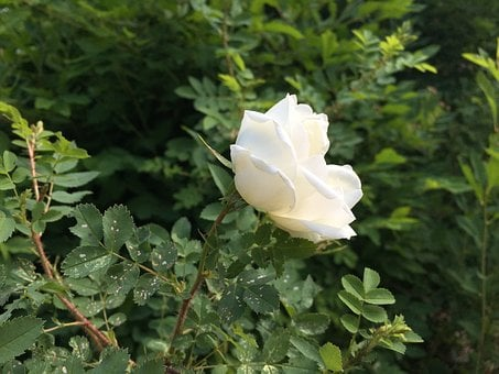 Midsummer, Midsummer Roses, Summer, Finnish