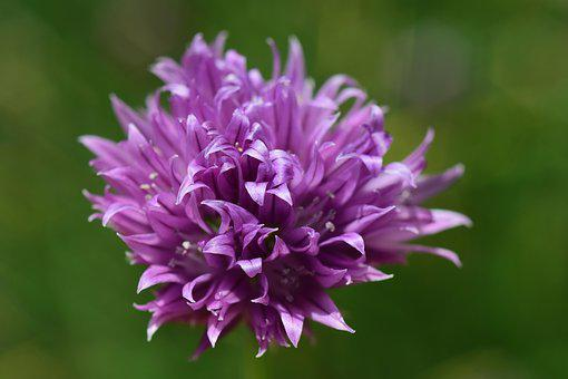 Chives, Flower, Blossom, Bloom, Close, Chives Blossom