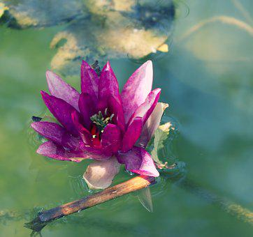Lotus, Flower, Water, Blossom, Nature, Romantic
