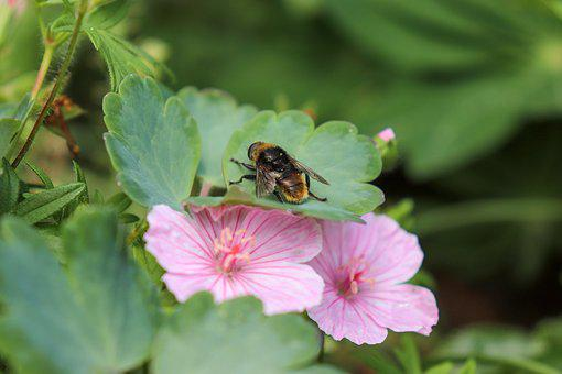 Bee, Flower, Pink, Honey Bee, Insect, Spring