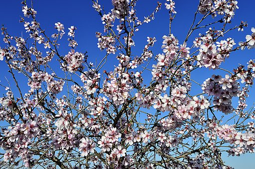 Almond Flowers, Flowering, Flowery Branch