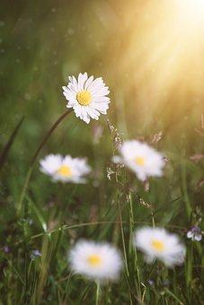Daisy, Flower, Flowers, White, White Flowers