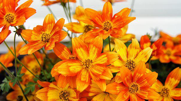 Flowers, Flower Box, Orange, Balcony Plant