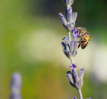 Honey Bee On Lavender, Flowers, Nature, Bee, Lavender