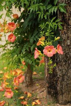 Campsis, Jacaranda Trees, Flowers, Nature, Plants