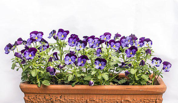 Pansies For My Love, Flowers, Note, Card, Sentimental