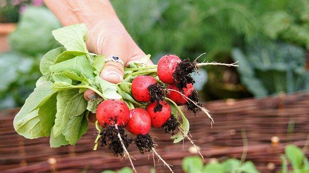 Radishes, Harvest, Food, Red, Vitamins, Garden, Frisch