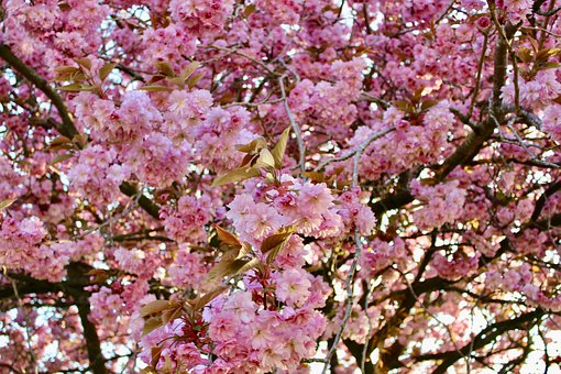Cherry Blossom, Glasgow, Scotland, Flower, Nature