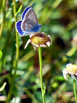 Butterfly, Blue, Insect, Nature, Prairie, Wings